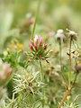 Trifolium stellatum (flowers).jpg