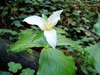 Trillium ovatum 41 n California