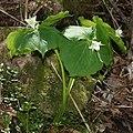 Trillium tschonoskii s2.jpg