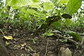 Trimeresurus stejnegeri (36143400332).jpg