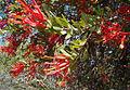 Tristerix verticillatus (8663810528).jpg