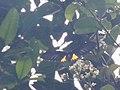 Troides helena (Papilionidae) (8187473539).jpg