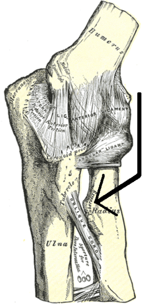 Radial tuberosity - Left elbow-joint, showing anterior and ulnar collateral ligaments. (Radial tuberosity visible at center right.)