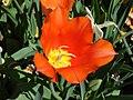 Tulip-6517.jpg