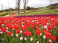 Tulip (1).JPG
