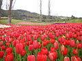 Tulip (12).JPG