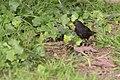 Turdus merula (Merle noir) - 133.jpg