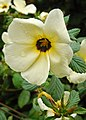 Turnera subulata(passifloraceae).jpg