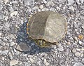 Turtle on the beach, Mobile, Alabama Credit Mark Ford, NPS (5984944288).jpg