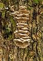 Tweekleurig elfenbankje. (Gloeoporus dichrous) op de stam van een knotwilg 08-01-2020 (d.j.b) 01.jpg