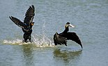 Two Phalacrocorax auritus and one fish original n.jpg