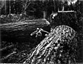 Two firs felled by logger with crosscut saw and felling axe, Washington, 1909 (KINSEY 2781).jpeg