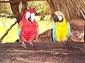 Two parrots -Canaima, Venezuela-6.jpg