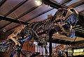 Tyrannosaurus rex 02 IRSNB.JPG