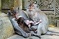Ubud Macaques with babies.jpg