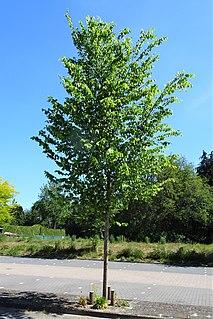 <i>Ulmus americana</i> New Harmony Elm cultivar
