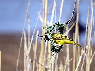 Ploceidae - Image: Under Construction Weaver Bird