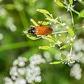 Unidentified Cantharidae in Aveyron.jpg