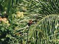 Unknown bird Peru 3.jpg