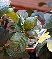 Unripe fruits of Citrus limon.jpg