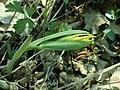 Uvularia grandiflora 2019-04-16 0275.jpg