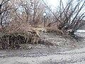 Vízmosta fák gyökerei és jel, 2019 Palotai-sziget.jpg