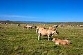 Vaches sur l'Aubrac.jpg