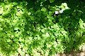 Vancouveria hexandra - Asticou Azalea Garden - Northeast Harbor, Maine - DSC03452.jpg