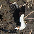 Vanellus vanellus 004 wing.JPG
