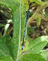 Variable Damselfly (Coenagrion pulchellum) - geograph.org.uk - 1403080.jpg