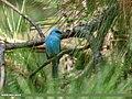 Verditer Flycatcher (Eumyias thalassinus) (46626277421).jpg