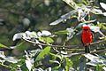 Vermilion Flycatcher - Flickr - GregTheBusker (2).jpg
