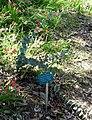 Veronica perfoliata (Derwentia perfoliata) - Mildred E. Mathias Botanical Garden - University of California, Los Angeles - DSC02744.jpg