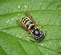 Vespula vulgaris- common wasp worker (49242597487).jpg