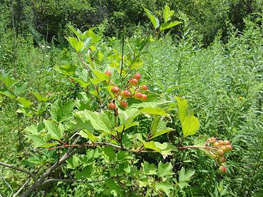 Viburnum opulus SCA-02408.jpg
