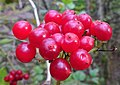 Viburnum opulus berries, Sorn, East Ayrshire.jpg