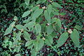 Viburnum setigerum - Longwood Gardens - DSC00807.JPG