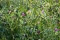 Vicia sativa ssp. nigra 01.jpg