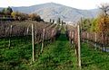 Vineyard near Castelli Calepio.jpg