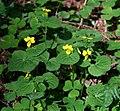 Viola biflora 4.jpg