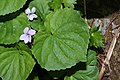 Viola palustris 6797.JPG