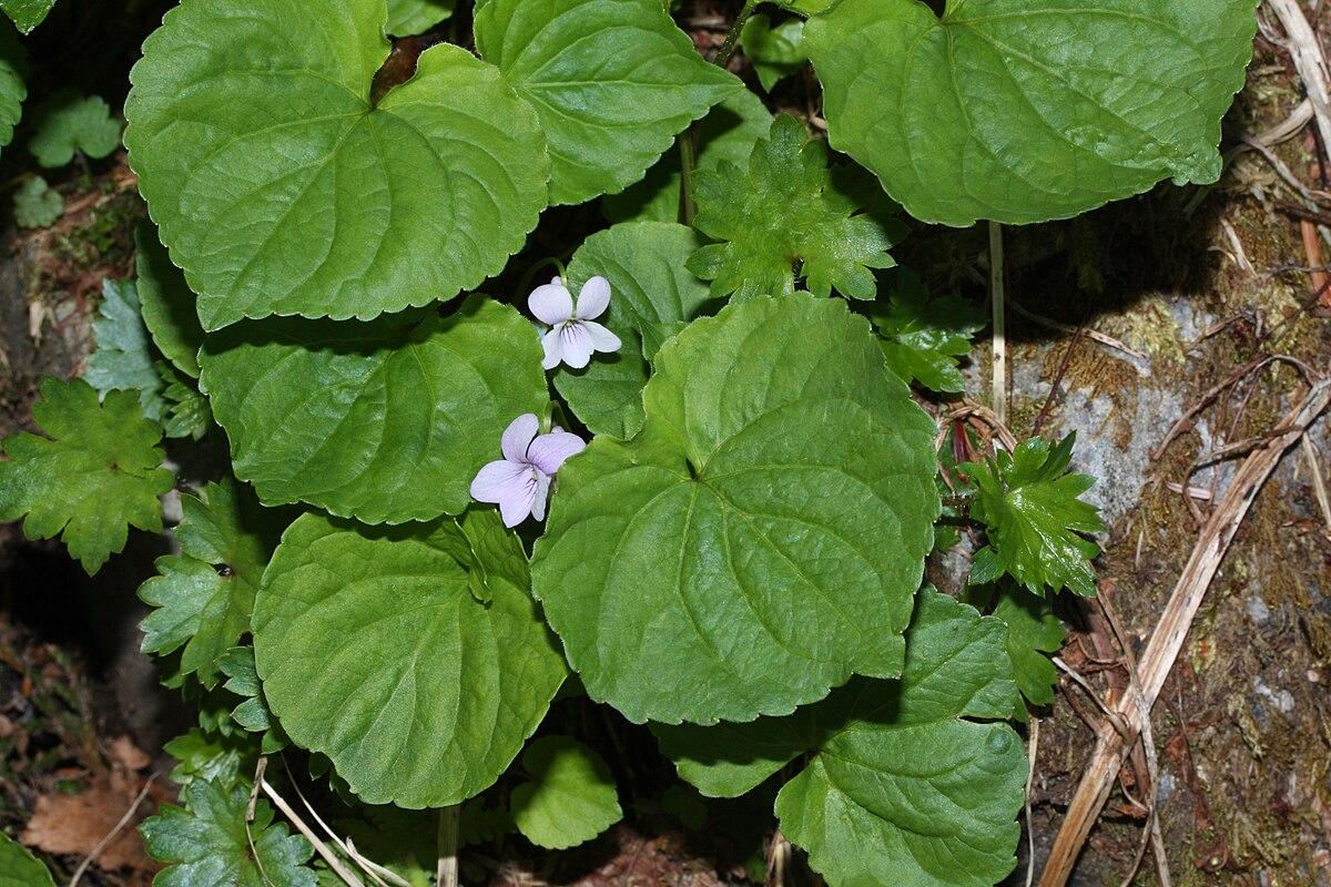 Viola Palustris Wikipedia