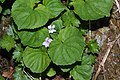 Viola palustris 6798.JPG