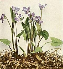 Viola sagittata var. sagittata WFNY-136A.jpg