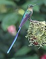 Violet-tailed sylph (40864423033).jpg