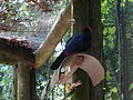 Violet turaco and parakeets, Wild Adventures 2015.JPG