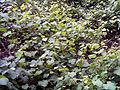 Vitis vinifera sylvestris Habitus SierraMadrona.jpg