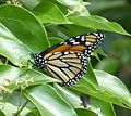 Wanderer or Monarch Butterfly. Danaus plexippus - Flickr - gailhampshire.jpg