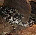 Washington DC Zoo - Pituophis melanoleucus 1.jpg