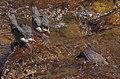 Wasseramsel taucht nach dem Füttern der bettelnden Jungtiere ab - Murg in Gernsbach IMGP8373.jpg